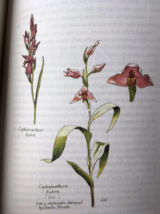 military orchid - www.booksonthelane.co.uk